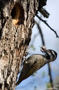 Woodpecker with an invertebrate