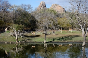 Eland at the waterhole  (photo by Hayley Muir)