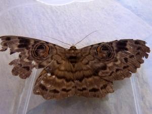 Huge Walker's Owl Moth!