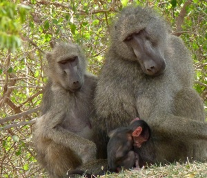 My favourite photo of the baboon family