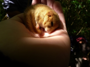 A dormouse found in mid-Wales