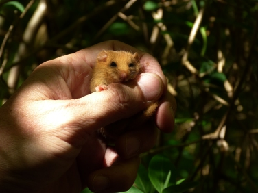 A dormice found during the day is often unresponsive to stimuli