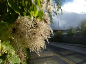 Traveller's joy seed head on the fenceline along Camley Street