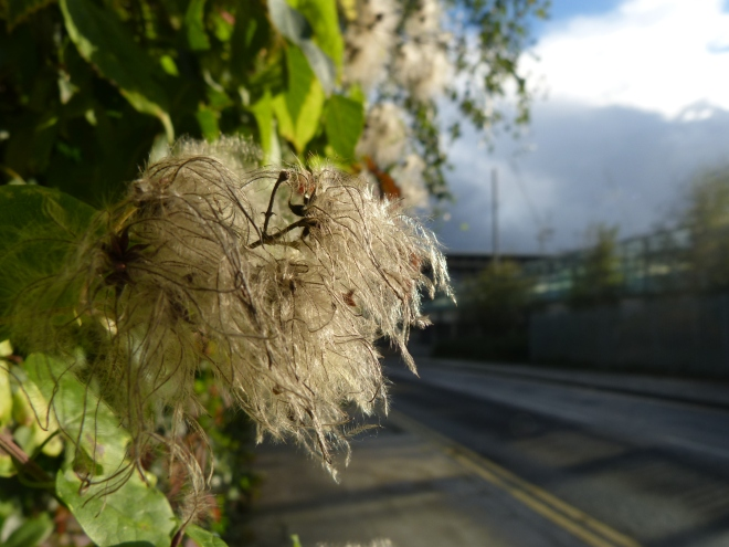 Traveller's joy seed head on the fenceline along Camley Street - did you know they're also known as Old Man's Beard?