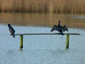 Resting cormorants