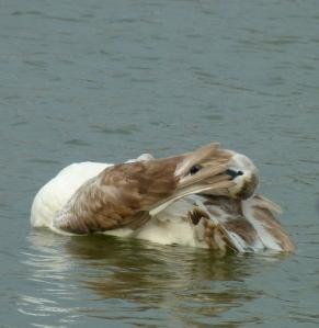Swan grooming itself