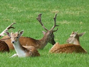 You can see the smaller antlers (young bucks), and the velvet on the antlers