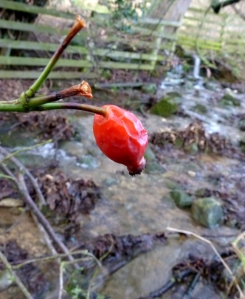 A somewhat old rosehip, with the reserve's small stream in the background