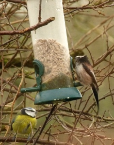 Long-tailed Tit (and a Blue Tit)