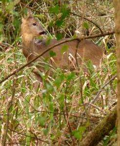A Roe Deer (again I think, never seen one before!)