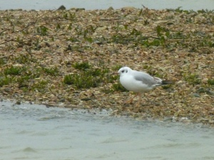 Black-headed Gull (I think ...)