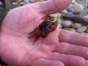A Columbus Crab