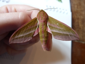 From my first solo moth trapping, what a stunner!