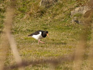 I love this photo of an oystercatcher - very cute!