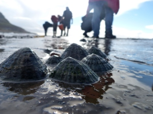 Limpets and rockpool searchers