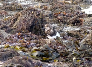 Turnstone on Hamm Beach