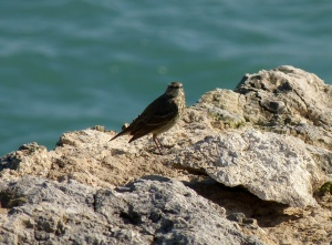 Rock Pipit near Portland Bill