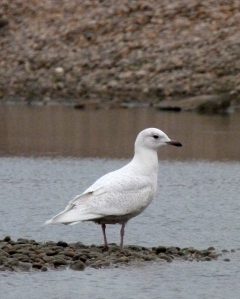 Iceland Gull at the pools on the Fleet
