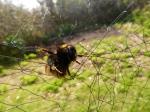 Poor bumblebee