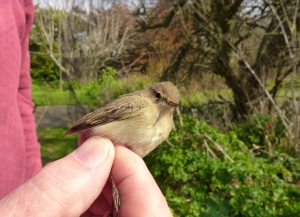 The recaught Chiffchaff