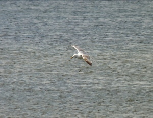 Herring Gull in flight (guess at a 3rd winter but don't have my notes to hand)