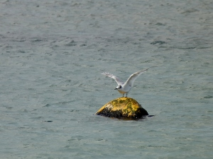 Sandwich Tern, it wasn't actually taking off, just having a stretch
