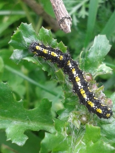 We didn't have a caterpillar book but Twitter saved the day. A Scarlet Tiger Moth caterpillar.