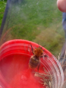 A Common Carder Bee (one of 20+ species of bumblebee!)