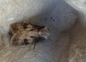 Shuttle-shaped Dart Moth