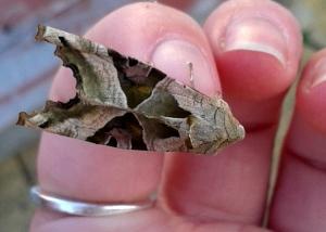 Angle Shades Moth - very distinctive!