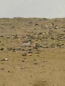 Little Ringed Plover, photo by Sean Foote.