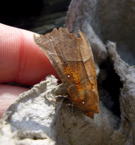 Herald Moth - distinctive orange patches and edge of wings