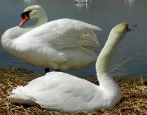 Nesting swans