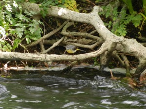 Grey Wagtail flitting about whilst we were finding crayfish. Really amazing to watch it.