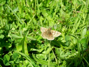 Dingy Skipper Butterfly. Although less bright and flashy than other butterflies, it is still a beauty.