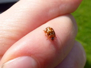 Cream-spot Ladybird. A favourite of mine as it was one of the first ladybird species that I properly identified.