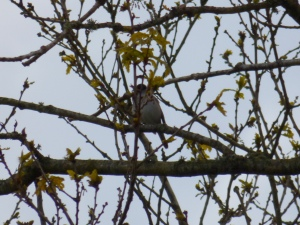 Blackcap hiding behind branches