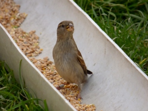 I love this photo of a cheeky female House Sparrow in the chicken feed trough at Kingcombe