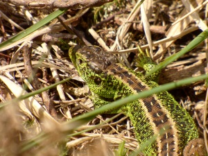 Male sand lizard soaking up some rays