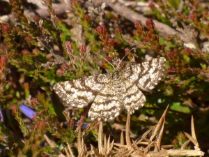 Common Heath moth (female)