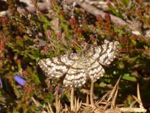 Common Heath moth (female)