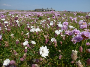 Sea Campion and Thrift with the Chesil Centre in the background