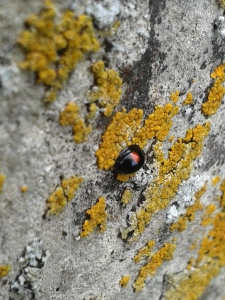 Ladybird in Wareham