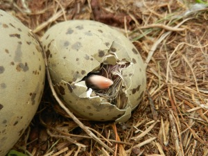 We saw a range of ages, including chicks that were hatching on the day!