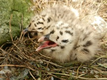 Two young chicks, too small to ring
