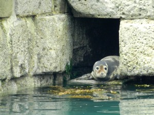 Seal at Portland Port breakwater