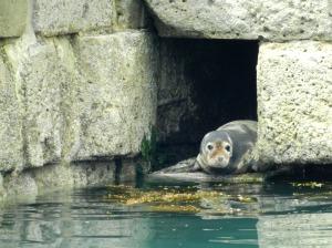 Seal at Portland Port breakwater