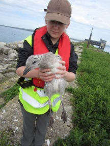 With a GBB Gull chick