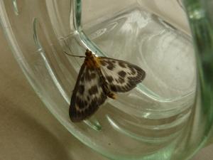 Small Magpie Moth (actually a micro)