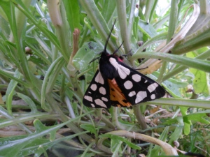 Cream-spot Tiger Moth